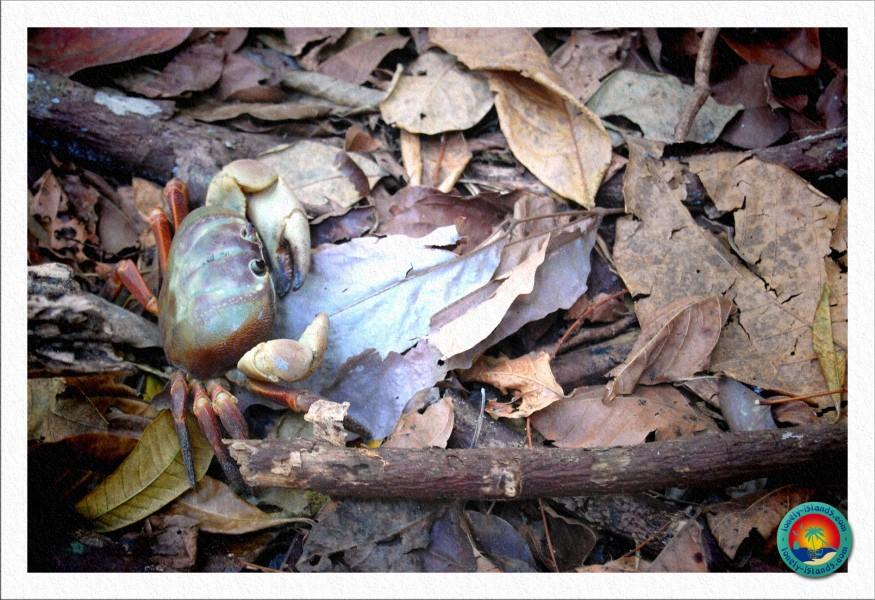 Chicken Crab (Hühnchen Krabbe)