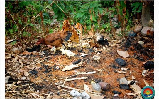 Hühnerfamilie der Inselbewohner