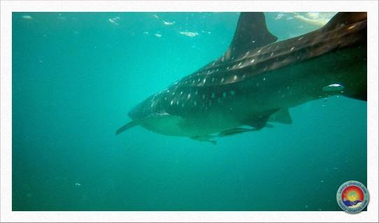 Walhai mit Schiffshaltern an der Brust