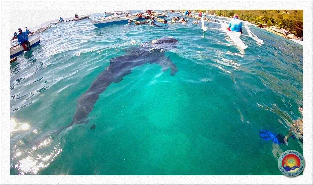 Walhai von der Oberfläche aus beobachtet