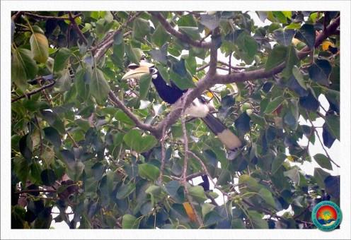 einer von vielen Nashornvögeln auf Koh Ngai