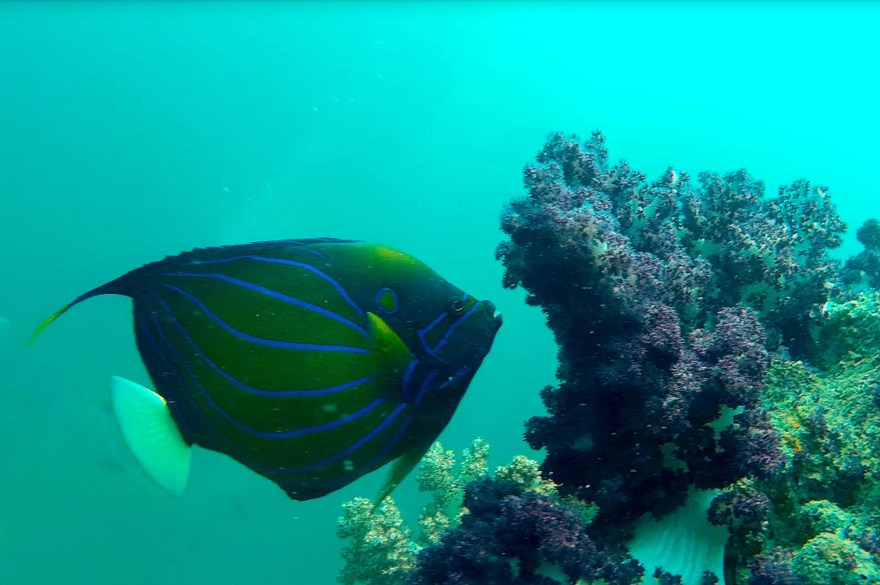 Ringkaiserfisch und BäumchenkorallenRingkaiserfisch und Bäumchenkorallen