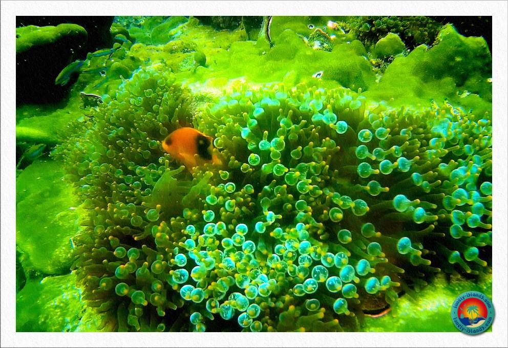 Glühkohlen - Anemonenfisch